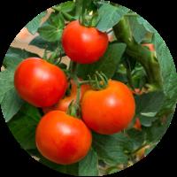 frische-Tomaten