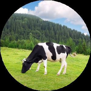 Milch von Gesunden Tieren